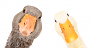 Logo: University of Geese